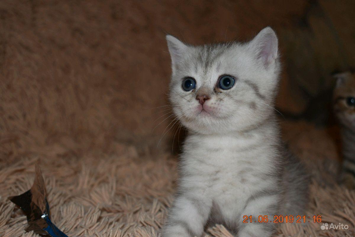 Шотландские котята в Пензе - фотография № 2