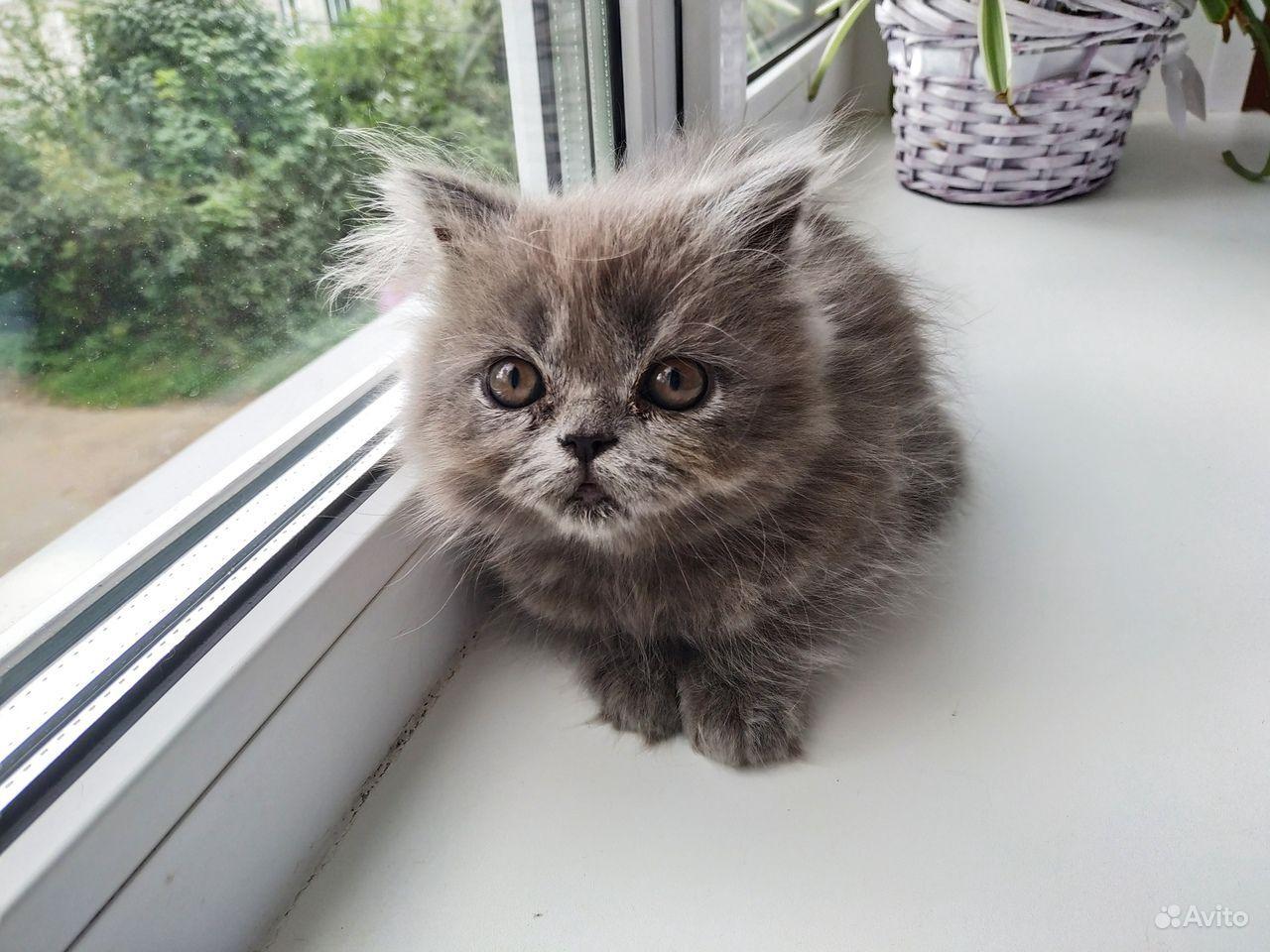 Британский котенок бесплатно