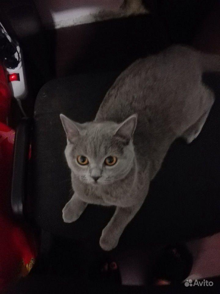 Шотландская прямоухая, молодая кошка, 2 года
