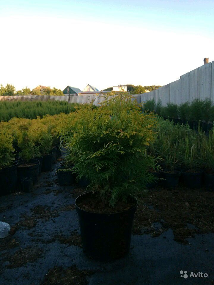 Хвойные деревья купить на Зозу.ру - фотография № 3