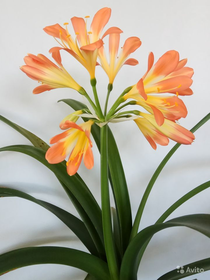 Комнатные растения - кливия и другие растения купить на Зозу.ру - фотография № 7