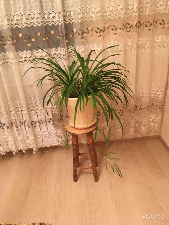 Хлорофитум купить на Зозу.ру - фотография № 3
