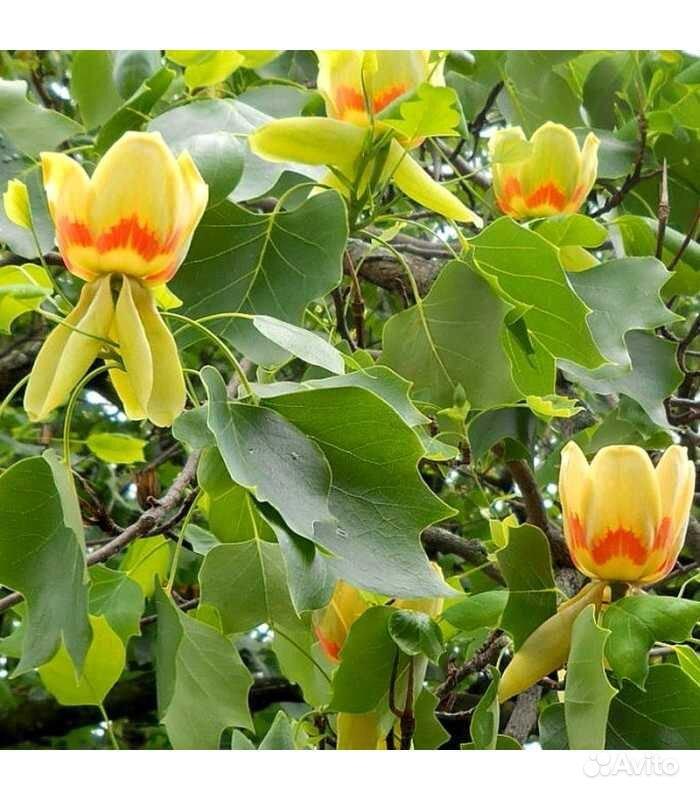Тюльпановое дерево или Лириодендрон купить на Зозу.ру - фотография № 1
