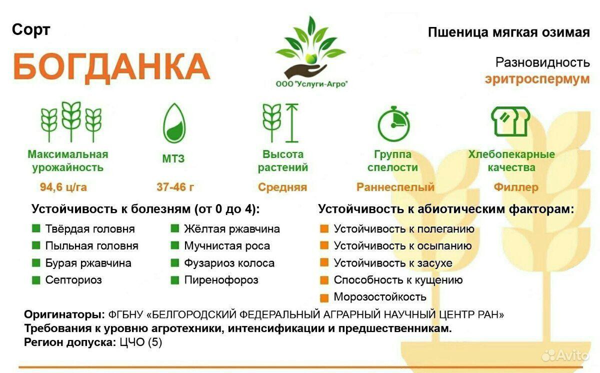 Пшеница озимая Богданка купить на Зозу.ру - фотография № 1