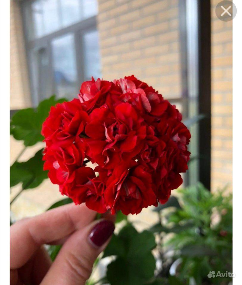 Пеларгония розебудная красная купить на Зозу.ру - фотография № 1
