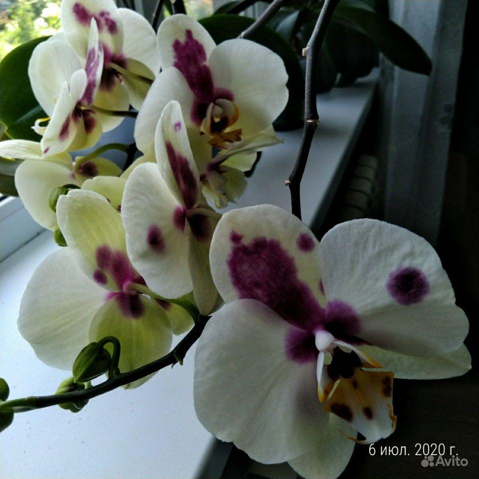 Орхидеи купить на Зозу.ру - фотография № 1