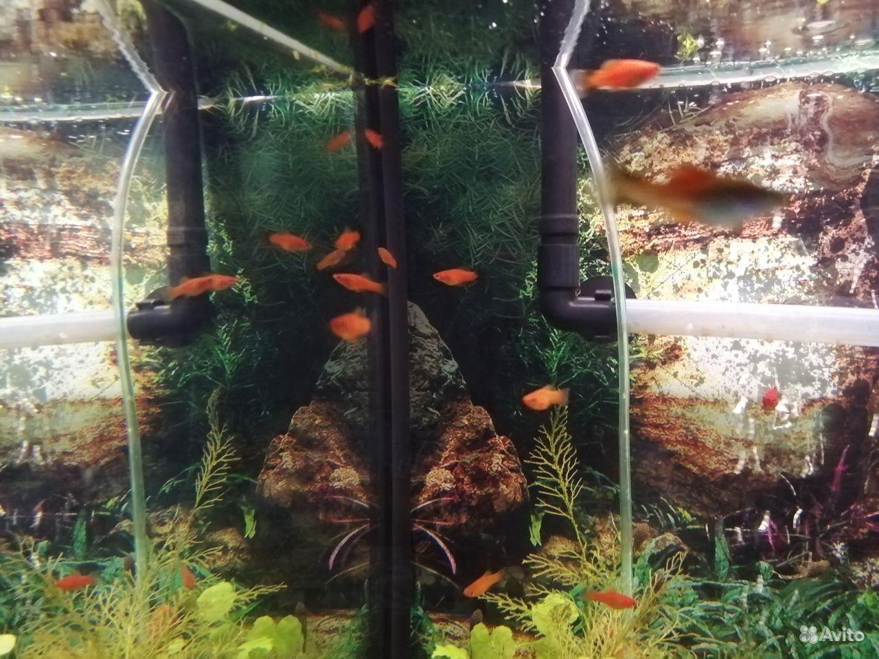 Рыбки аквариумные купить на Зозу.ру - фотография № 1