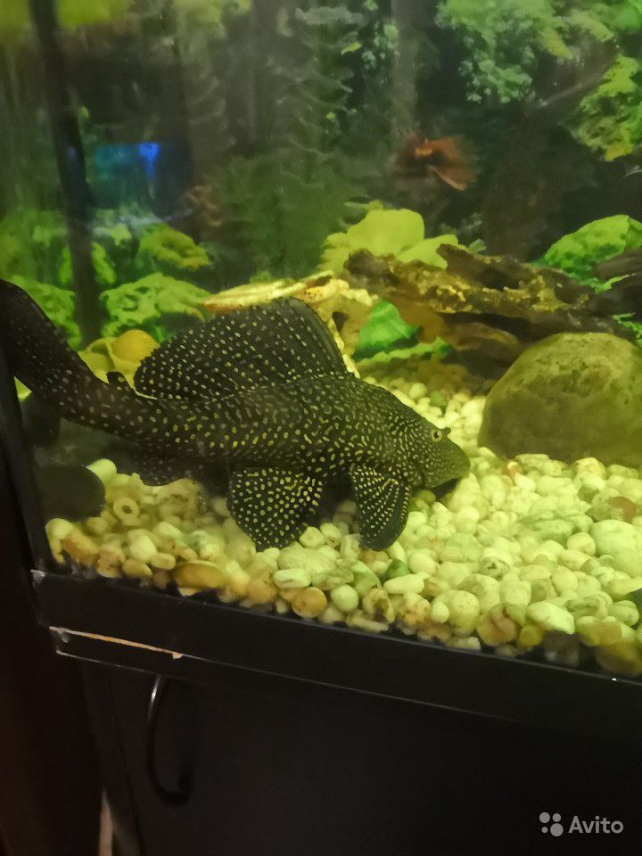 Продам рыбок купить на Зозу.ру - фотография № 5