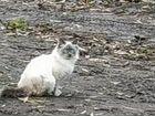 Сиамская кошка,7месяцев.Живет в холодном гараже,по
