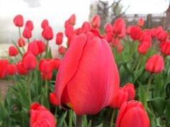 Луковицы тюльпанов, тюльпаны