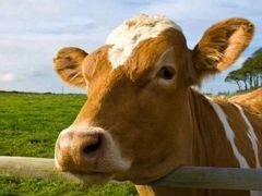 Корова, бычки, телочки