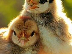 Цыплята полумясные