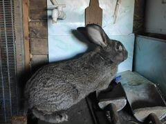Кролики, пород фландер, строкач (бабочка) от 2,5 м