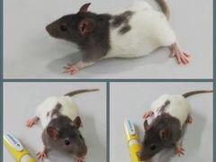 Крысы деффчули