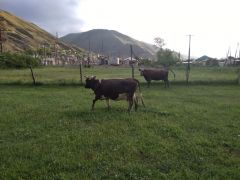 Корова козленки