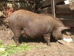 Свинка кармал покрытая