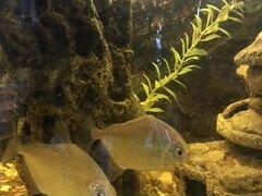 Рыба метинесы