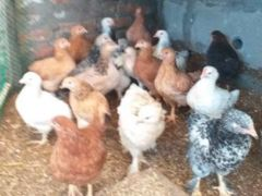 Цыплята несушки