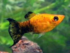 Рыба моллинезия