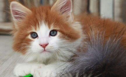 Крупный котенок кунчик