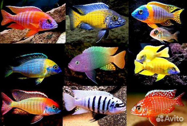 аквариумные рыбки фото и названия цихлиды описания