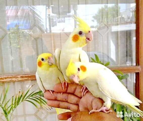 Корелла попугай кто лучше самка или самец