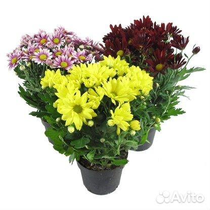 мелкая хризантема фото