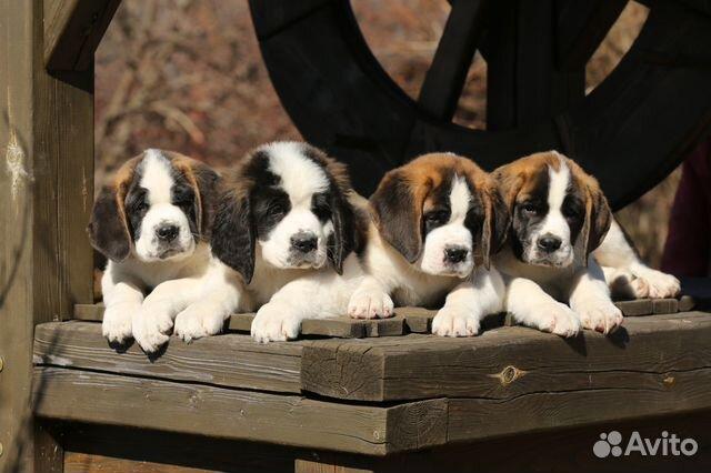 сенбернар собака щенки