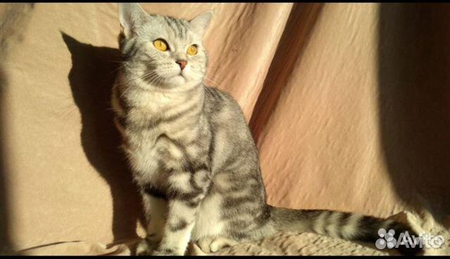 Кошка ищет кота для вязки