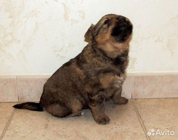 Собака купить на Зозу.ру - фотография № 9