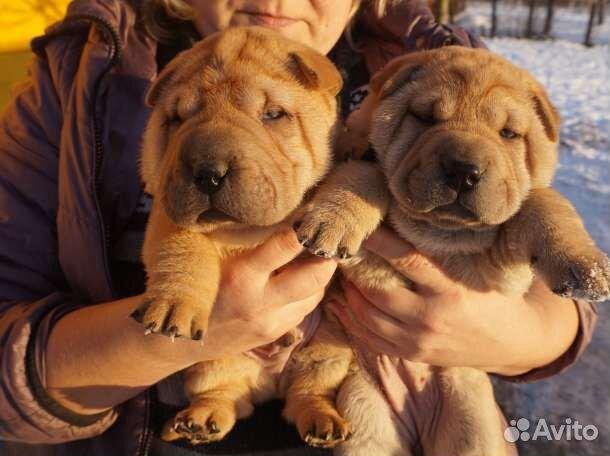 Благородные щенки Шар-пея купить на Зозу.ру - фотография № 1