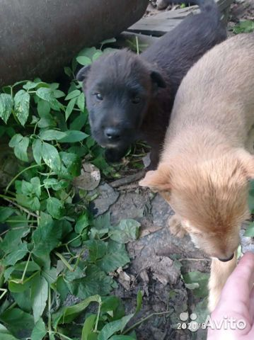 Собака  89156359877 купить 4