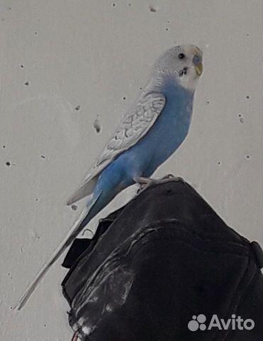 Продам мальчика попугая  89173605507 купить 2
