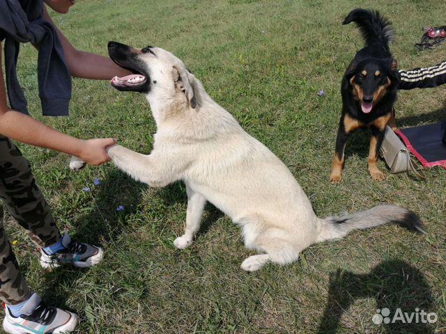 Собаки в добрые руки  89603982453 купить 3