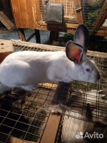 Кролик  89376707200 купить 1