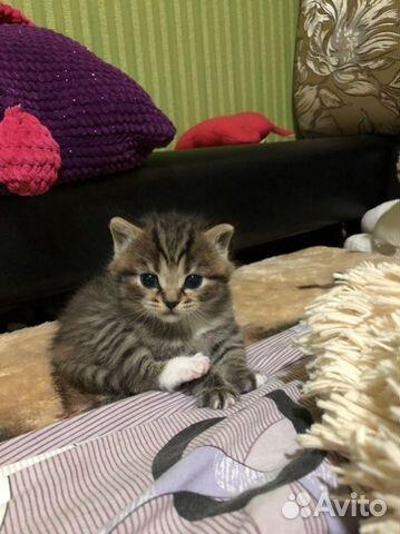 Котята шотландские  89191994610 купить 3