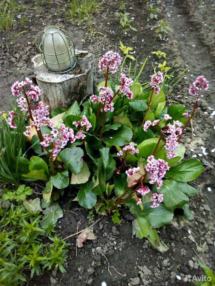 Растения садовые  89875767809 купить 3