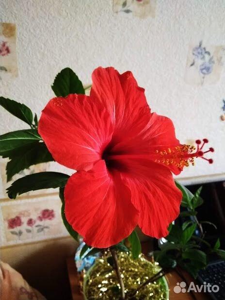 Гибискус (детки и взрослые растения)  89220007860 купить 1