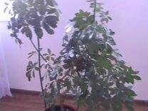 Цветок Гептаплеурум