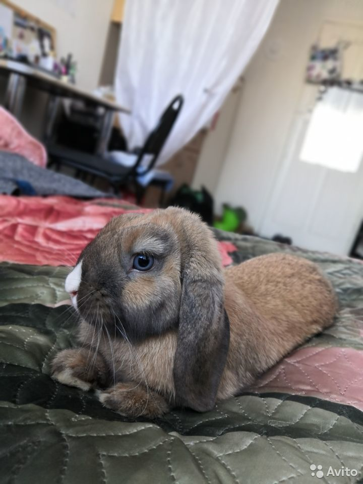 Продается декоративный кролик  89171097928 купить 1