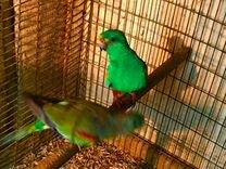 Травянистые,неразлучники,певчие попугаи
