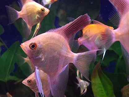 Рыбки скалярии Болгарский жемчуг, пиной,красный дь