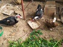 Китайские шёлковые,цыплята Брама и Индоутки