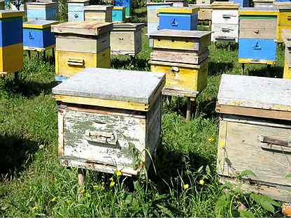 Пчелы/пчелосемьи с домиками