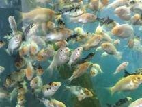Рыба карп кои