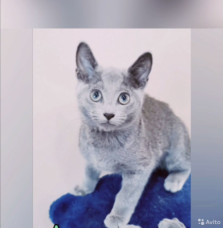 Kattungar, Russian blue katt  89149125544 köp 5