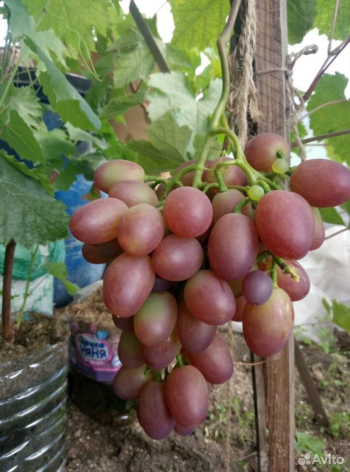 Виноград - саженцы ранних столовых сортов  89086315673 купить 4