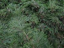 Лапник еловый и сосновый. Ветвь еловая. Хвоя — Растения в Москве